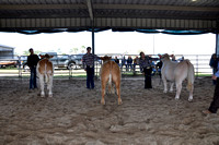 Willacy County - Steer Show - 01/29/2016
